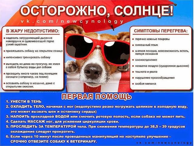 Чем опасно лето, жара и солнце. И почему смертельно опасно закрывать собаку в машине. 107533369