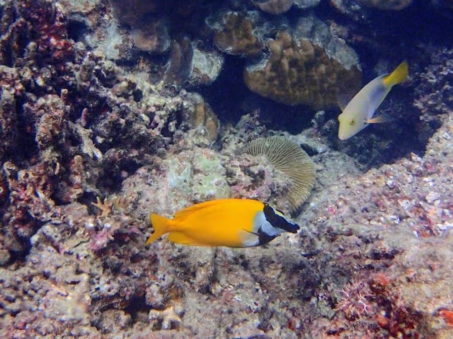 Siganus vulpinus (Foxface Rabbifish), Miniloc Island Resort reef, Palawan, Philippines.