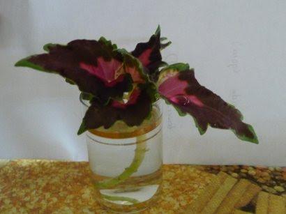 Koleus blumego plectranthus scutellarioides