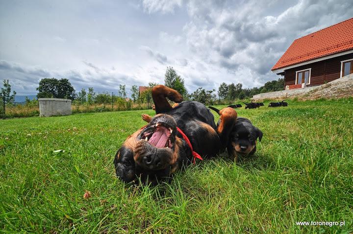 Suka rottweiler wyluzowana