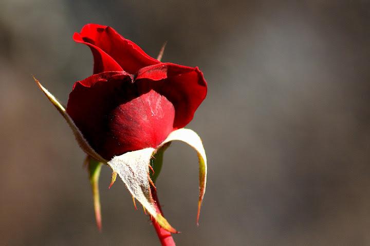 Rosas no dia dos namorados