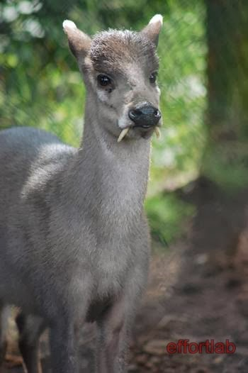 tufted-deer-elaphodus-cephalophus