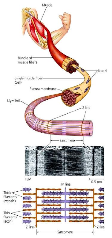 struktur otot