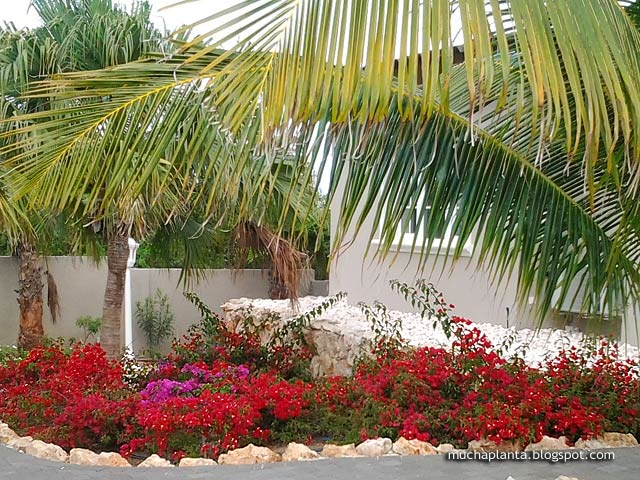 https://lh6.googleusercontent.com/-yJT6nhfJqFw/VI7wu_SwBKI/AAAAAAAAEJU/HaCjVg2sA1g/s2048/Bougainvillea_Curacao_1.jpg