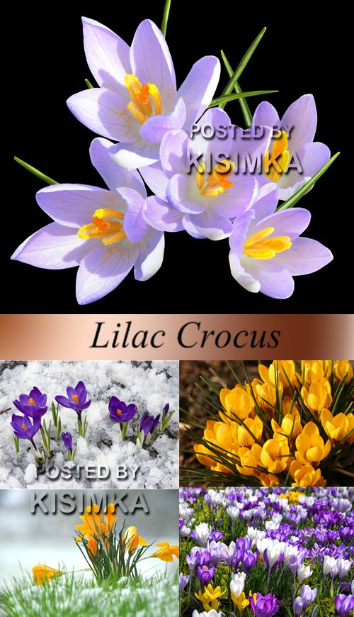 Stock Photo: Multi-colored crocuses
