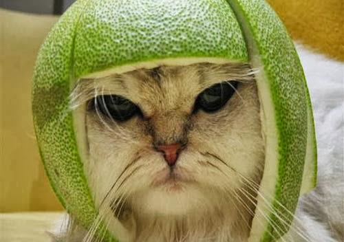 Kucing pakai topi