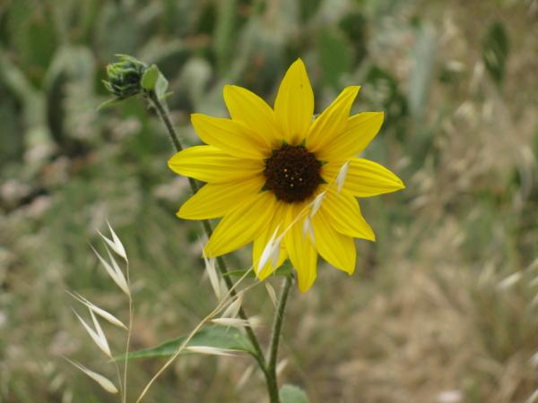 large daisy or tiny sunflower