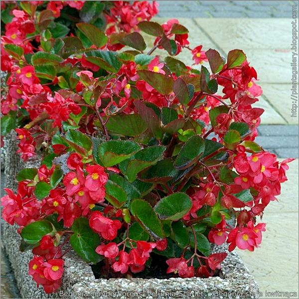 Begonia semperflorens 'Volumia Scarlet' - Begonia stale kwitnąca