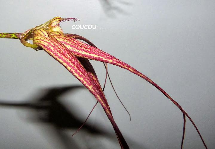 Bulbophyllum  Elizabeth Ann ' Buckleberry ' P1370305
