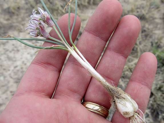 Allium textile (Onion), which I dug up and ate with dinner