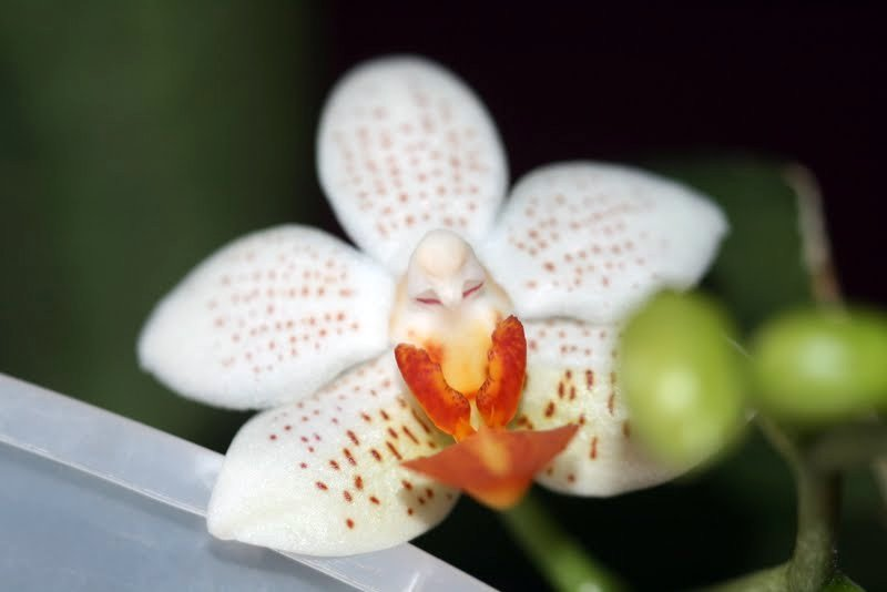 Phalaenopsis Mini Mark IMG_1199