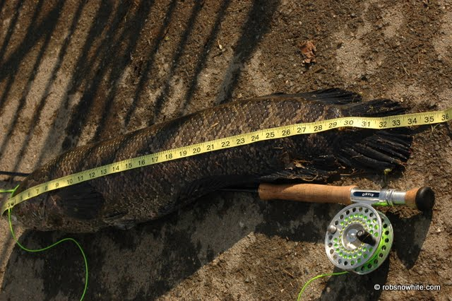 fly fishing snakehead