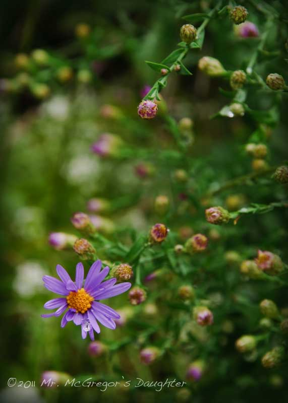 "Pinched ""Asters"""