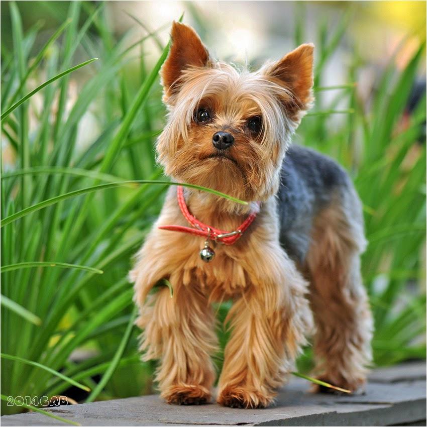 Testclod Le Yorkshire Terrier Un Chien De Petite Taille
