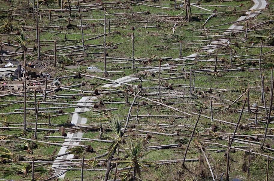Coconut trees tore by Typhoon Yolanda