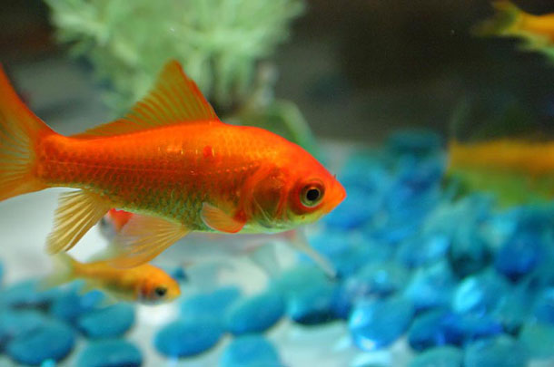 Facts around us for What fish can live with goldfish in a pond