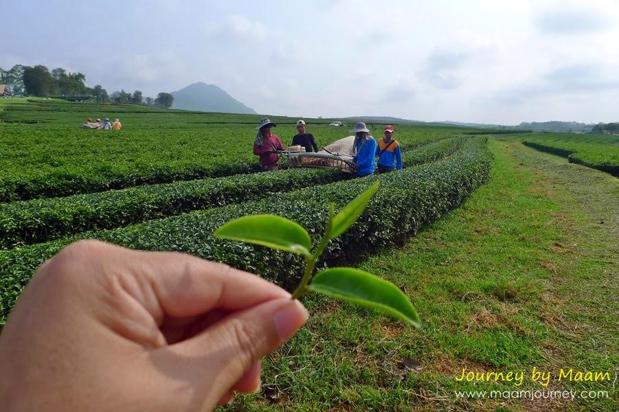 ยอดใบชาเขียวญี่ปุ่นแท้_4