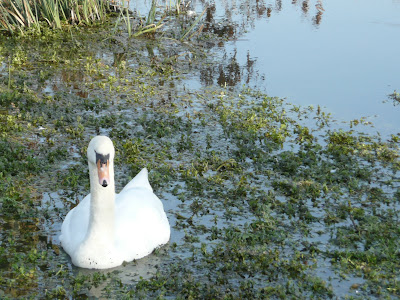 Swan near Eastbridge
