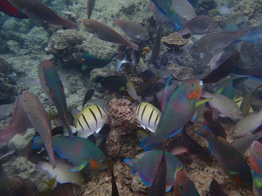 Feeding shoal, Miniloc Island Resort reef, Palawan, Philippines