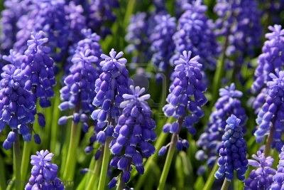 They Are Named So Because Of Their Cers Small Bell Shaped Cobalt Blue Flowers That Look Like Upside Down G