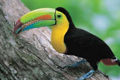 Toucan Eating Gif
