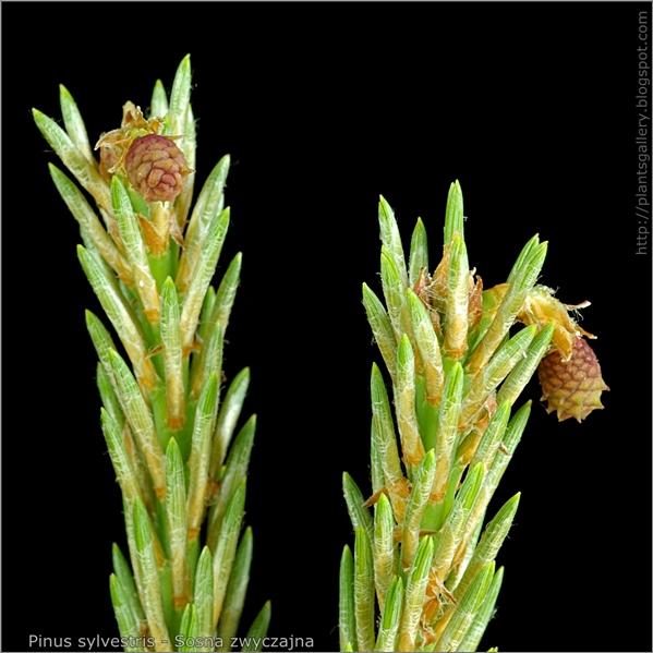 Pinus sylvestris female flowers - Sosna zwyczajna kwiaty żeńskie
