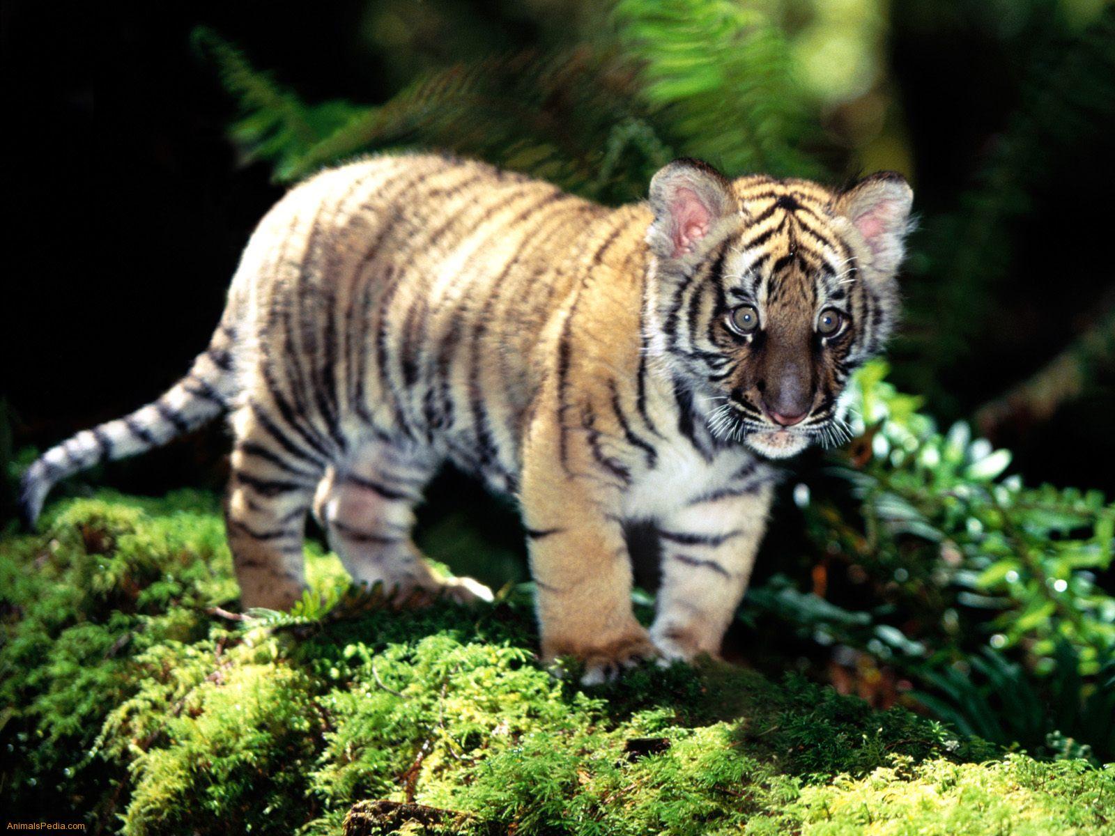 tiger tige