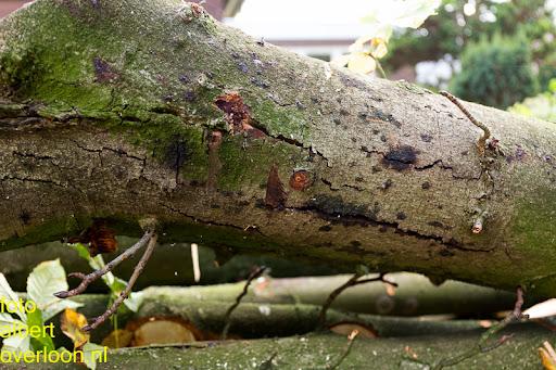 Bomen gekapt Museumlaan in overloon 20-10-2014 (38).jpg