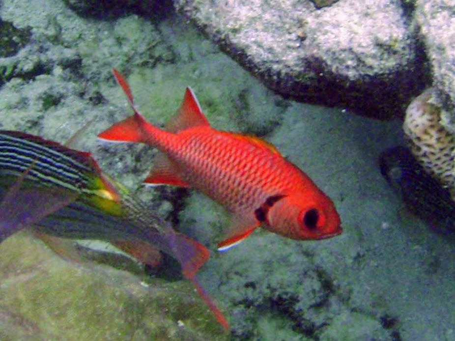 Myripristis berndti (Blotcheye Soldierfish), Rarotonga.