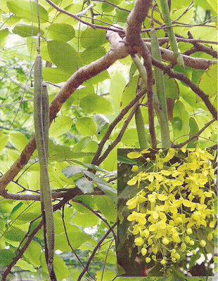 Indian Laburnum - Medicinal Plants healing