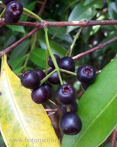 Syzygium myrtifolium, Red Lip fruit