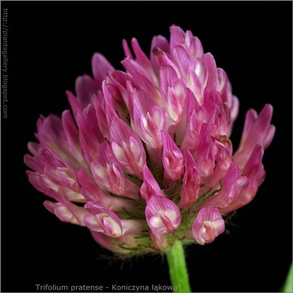 Trifolium pratense inflorescence - Koniczyna łąkowa kwiatostan