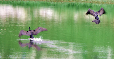 31-Aug-2011 Great Cormorants drying their wings Pic: Sujesh S.