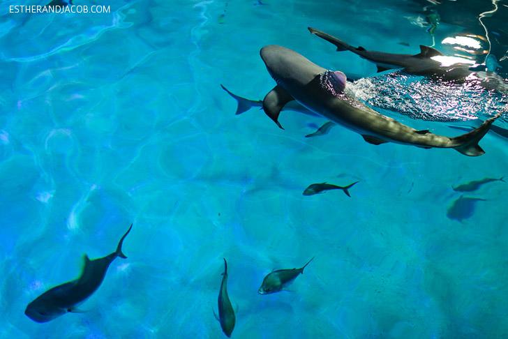 Feeding Sharks at the Shark Reef at Mandalay Bay.