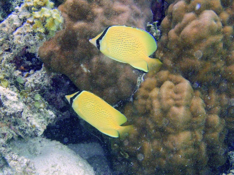 Chaetodon citrinellus (Speckled Butterflyfish), Naigani Island, Fiji.
