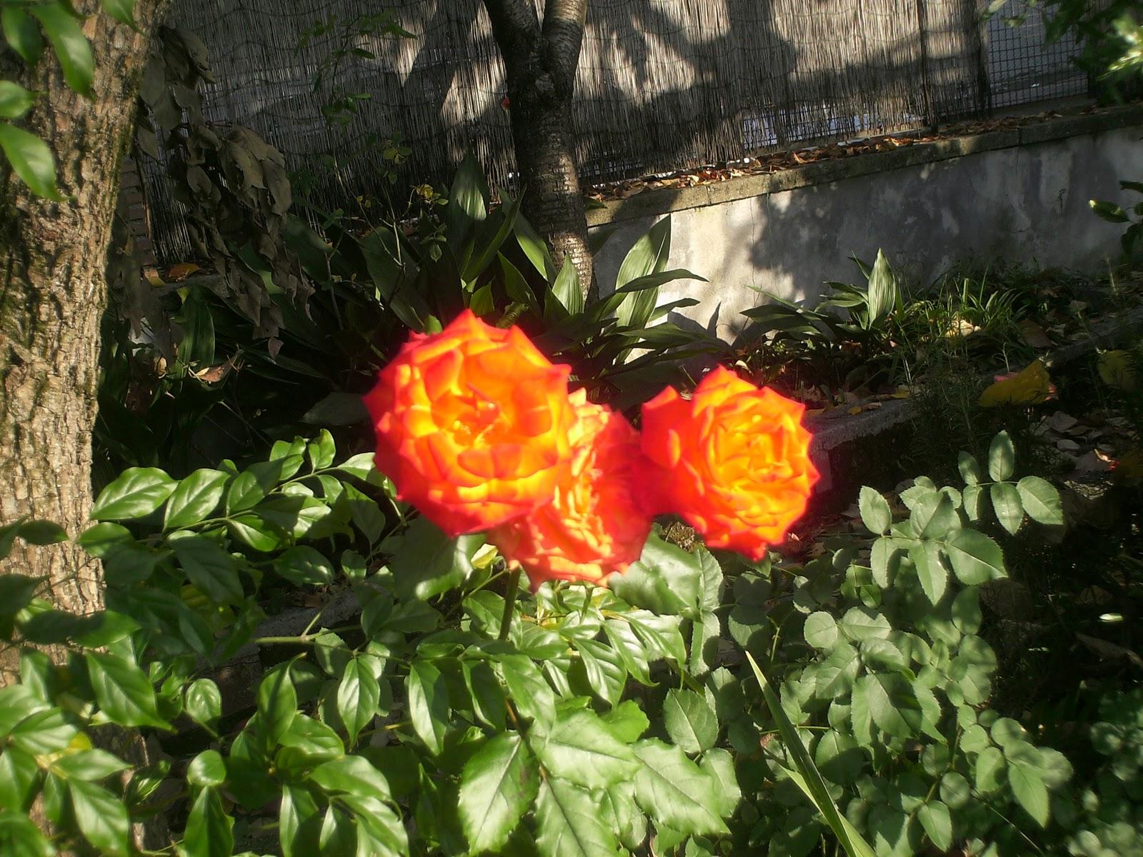 Fiori piante e giardini del mondo vorrei essere una rosa for Piante e giardini