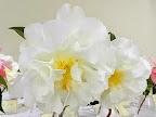 白色 牡丹咲き 極大輪