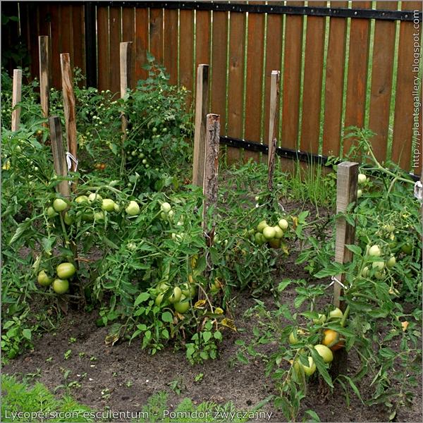 Lycopersicon esculentum - Pomidor zwyczajny