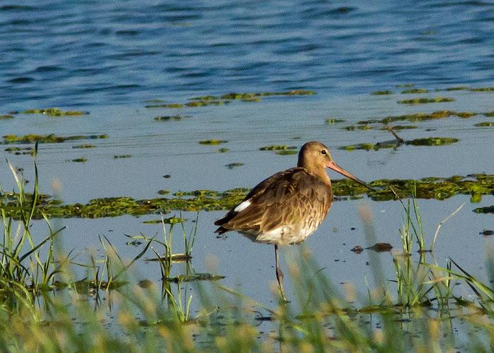 pasari birdwatching caiac Delta Dunarii limicole