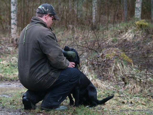 Labradorinnoutajien nome-treeniä Ruukintuvan maastossa.