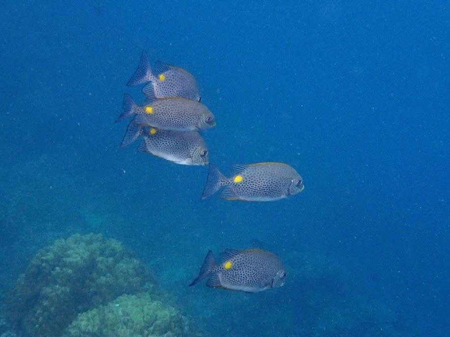 Siganus guttatus (Gold-spot Rabbitfish), Miniloc Island Resort reef, Palawan, Philippines.