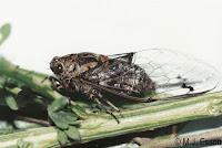 Amphipsalta cingulata. Photo: MJ Esson. Citation:Larivière M-C, Rhode BE, Larochelle A 2006-2010. New Zealand cicadas (Hemiptera: Cicadidae): A virtual identification guide. The New Zealand Hemiptera, NZH 05. [archived website and journal]