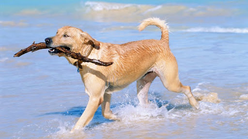 A Day at the Beach, Golden Retriever.jpg