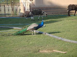Legend Otel'in bahçesindeki tavus kuşu ve koyunlar