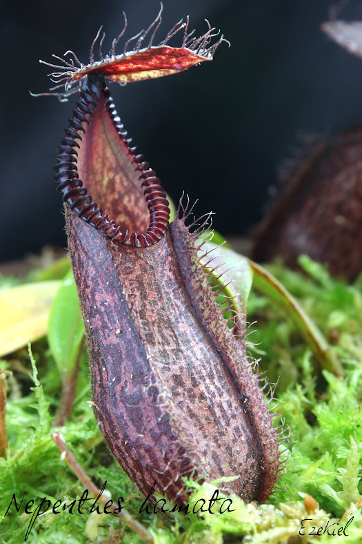 Nepenthes hamata IMG_4575