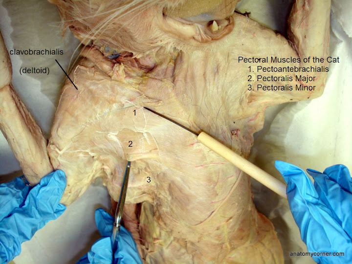 Cat Virtual Dissection Muscles Anatomy Corner