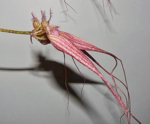 Bulbophyllum  Elizabeth Ann ' Buckleberry ' P1370576