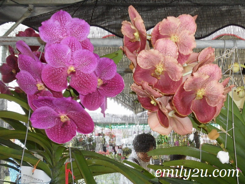 two shades of orchids