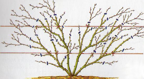 Pepinieres du bois de pieton la taille des rosiers - Dessin bourgeon ...