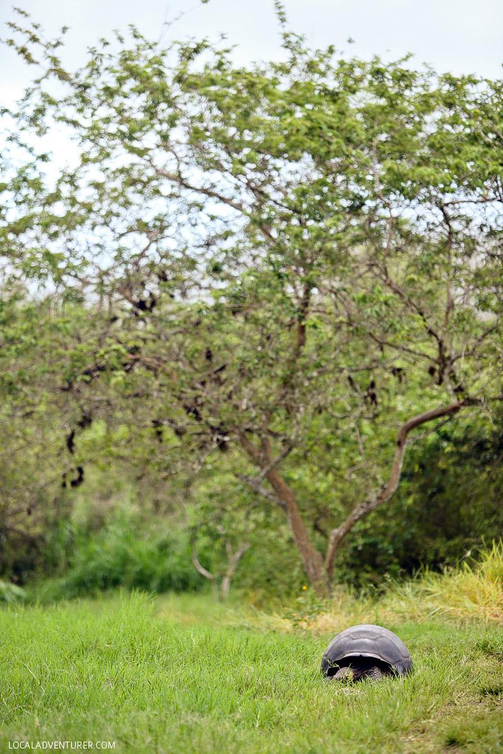 Giant Tortoise - Galapagos Animals.